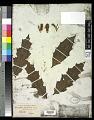 View Acanthus ilicifolius L. digital asset number 0