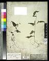 View Lepidagathis incurva Buch.-Ham. ex D. Don digital asset number 0