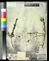 View Teucrium bicolor (Sm.) Raf. digital asset number 0