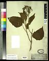 View Clerodendron villosum Blume digital asset number 0