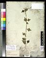 View Gmelina elliptica Sm. digital asset number 0