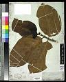 View Morinda citrifolia L. digital asset number 0
