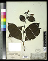 View Graptophyllum pictum (L.) Griff. digital asset number 0