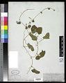 View Cucumis melo L. digital asset number 0