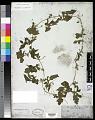 View Momordica charantia L. digital asset number 0