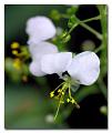 View Aneilema umbrosum (Vahl) Kunth subsp. umbrosum digital asset number 0