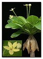 View Brighamia insignis A. Gray digital asset number 0