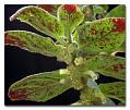 View Columnea spathulata Mansf. digital asset number 0