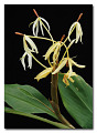 View Hedychium hasseltii Blume digital asset number 0