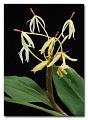 View Hedychium hasseltii Blume digital asset number 0