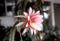 View Epiphyllum ackermanii digital asset number 0