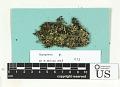 View Hypogymnia vittata (Ach.) Parrique digital asset number 1