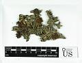 View Hypogymnia sierrae L.H. Pike digital asset number 1