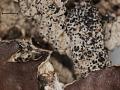 View Hypogymnia sierrae L.H. Pike digital asset number 3