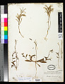 View Eremothera chamaenerioides (A. Gray) W.L. Wagner & Hoch digital asset number 0