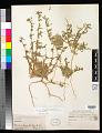 View Camissoniopsis pallida (Abrams) W.L. Wagner & Hoch subsp. pallida digital asset number 0