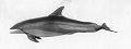 View Lagenorhynchus acutus (Gray, 1828) digital asset number 1