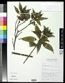 View Melastoma malabathricum L. digital asset number 0