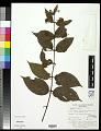View Colubrina asiatica (L.) Brongn. digital asset number 0
