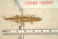 View Sphaerodactylus clenchi apocoptus digital asset number 0