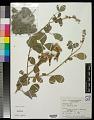 View Crotalaria incana L. digital asset number 0