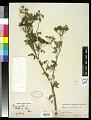 View Conium maculatum L. digital asset number 0