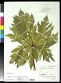 View Carica papaya L. digital asset number 0