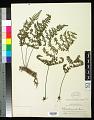 View Myriopteris aemula (Maxon) Grusz & Windham digital asset number 0
