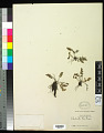 View Cheilanthes gracilis (Fée) Mett. ex Riehl digital asset number 0