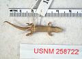 View Sphaerodactylus ladae digital asset number 1