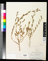 View Polygonum rubescens Small digital asset number 0