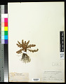 View Notholaena brachypus (Kunze) J. Sm. digital asset number 0