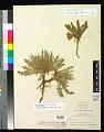View Oenothera flava (A. Nelson) Garrett digital asset number 0
