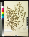 View Crusea diversifolia (Kunth) W.R. Anderson digital asset number 0
