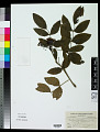 View Berberis aquifolium Pursh digital asset number 0
