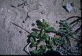View Boerhavia diffusa L. digital asset number 0