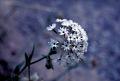 View Abronia fragrans Nutt. ex Hook. digital asset number 0