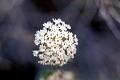 View Abronia fragrans Nutt. ex Hook. digital asset number 1