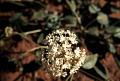 View Abronia fragrans Nutt. ex Hook. digital asset number 2