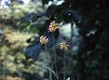 View Platanthera ciliaris (L.) Lindl. digital asset number 0