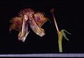 View Rhytidophyllum grandiflorum Xu & L.E. Skog ex Zanoni & Jiménez Rodr. digital asset number 1