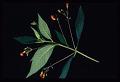View Rhytidophyllum grandiflorum Xu & L.E. Skog ex Zanoni & Jiménez Rodr. digital asset number 2