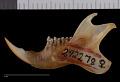 View Glaucomys sabrinus coloratus Handley, 1953 digital asset number 3