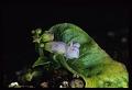 View Rhynchoglossum obliquum Blume digital asset number 2