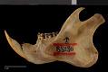 View Ratufa bicolor melanopepla digital asset number 3