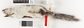 View Sciurus aberti ferreus True, 1900 digital asset number 9