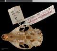 View Sciurus aureogaster nigrescens digital asset number 9
