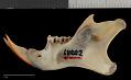 View Sciurus aureogaster nigrescens digital asset number 4