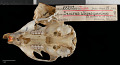 View Sciurus aureogaster nigrescens digital asset number 6
