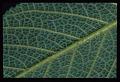 View Rhytidophyllum grandiflorum Xu & L.E. Skog ex Zanoni & Jiménez Rodr. digital asset number 6